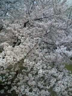 お花見ー~ヽ('ー`)ノ~