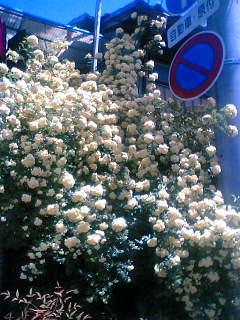ご近所のモッコウ薔薇